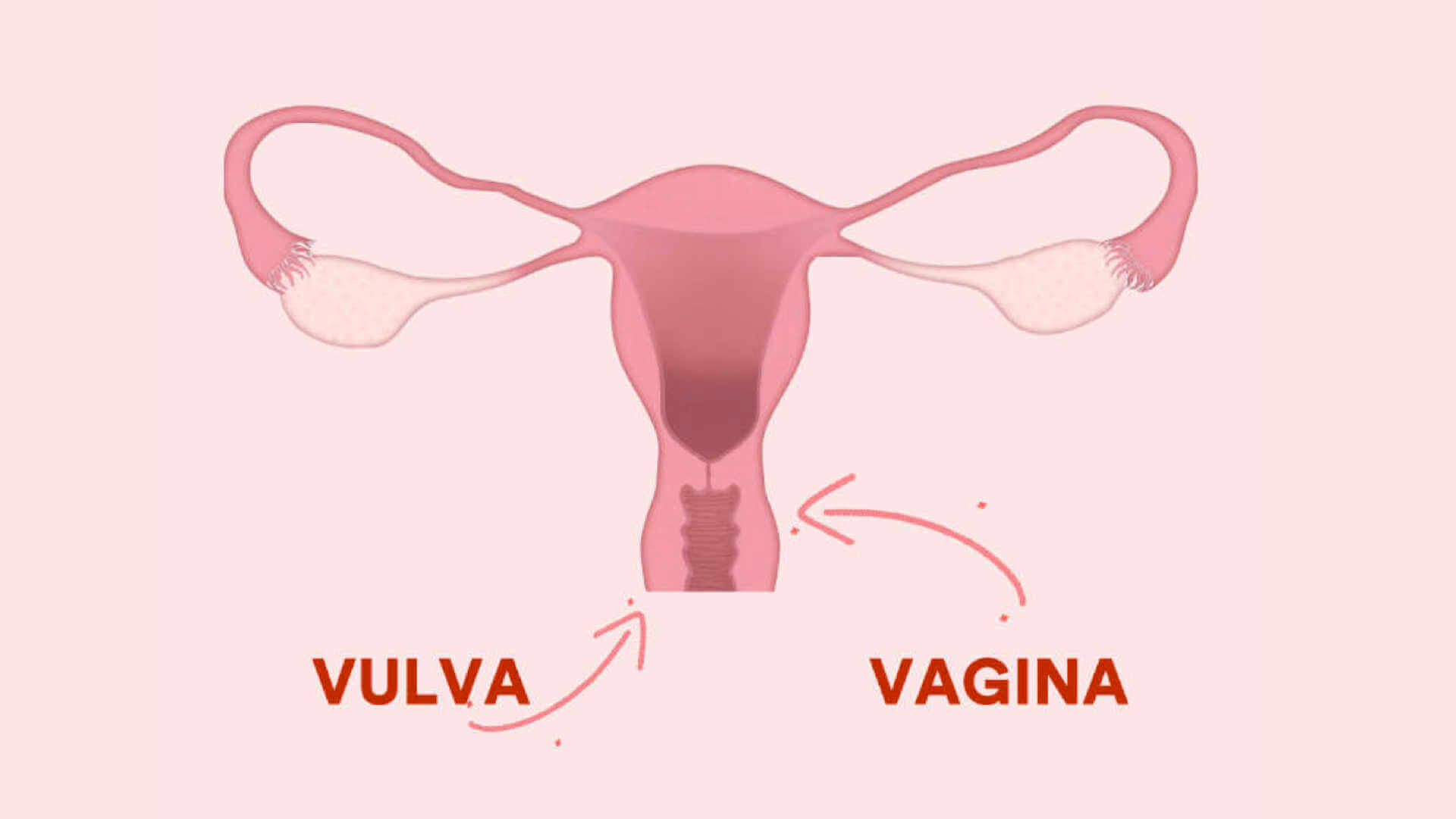 Vulva, Vagina, Unterschied